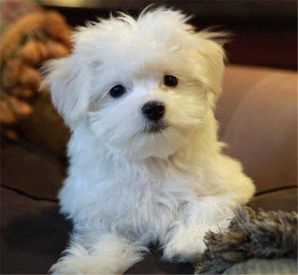 This Little Puppy Looks Just Like My Bichon Frise Fluffy She Gave Some Much Entertainment And Love To M Maltese Puppy Maltese Puppies For Sale Poodle Puppy