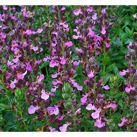 Buy Germander Perennial Plants Teucrium Pink Flowers 4 Pot
