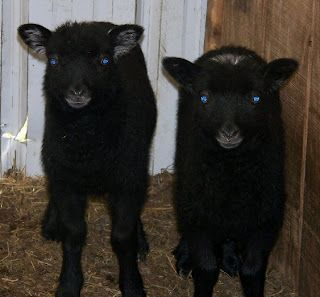 Twin Shetland lambs.  Breed origins: the Shetland Islands, off of the northeastern coast of Scotland.  Known for multiple natural colored fleeces; traditionally used in Fair Isle and Shetland Lace Knitting. #shetlandislands Twin Shetland lambs.  Breed origins: the Shetland Islands, off of the northeastern coast of Scotland.  Known for multiple natural colored fleeces; traditionally used in Fair Isle and Shetland Lace Knitting. #shetlandislands