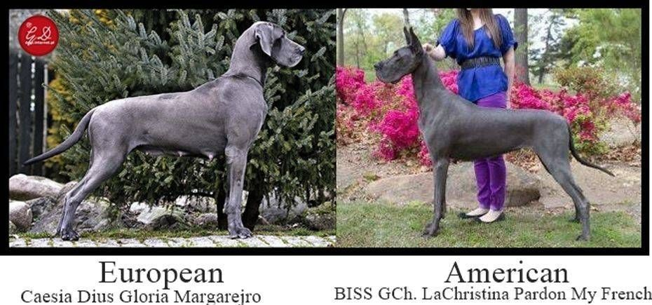 Vulpine Great Danes Euro Vs American Great Dane Dane Fur Babies