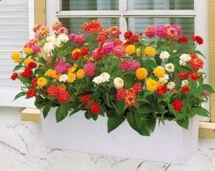 3 lantanas en m lange am nagement paysager pinterest jardins fleurs et jardinage. Black Bedroom Furniture Sets. Home Design Ideas