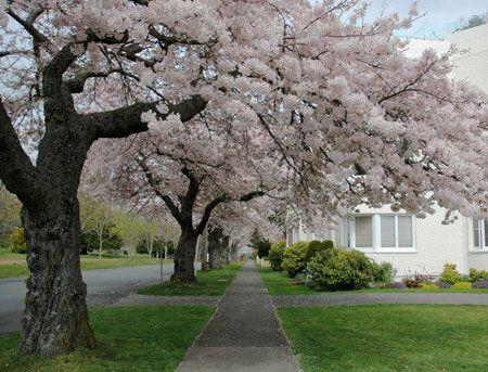 Yoshino Cherry Landscaping Flowering Tree Fast