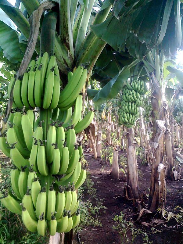 Banana farm, Chinawal village, Maharashtra, India