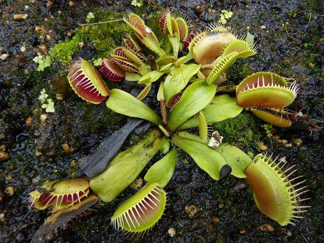 plante carnivore qui mange un escargot