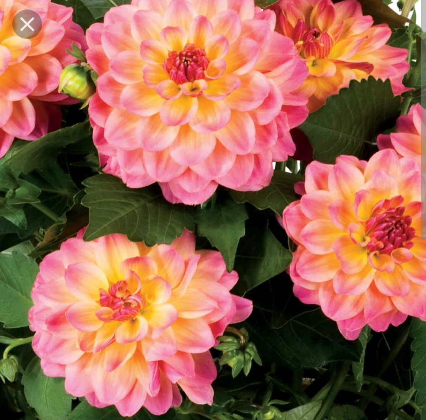 Dahlia hypnotica rose bi color very short only 12 18 high dahlia hypnotica rose bi color very short only 12 18 high izmirmasajfo