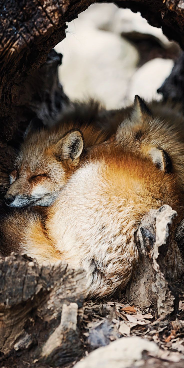 Red Foxes, Zao Fox Village, Japan by Lauren Bath