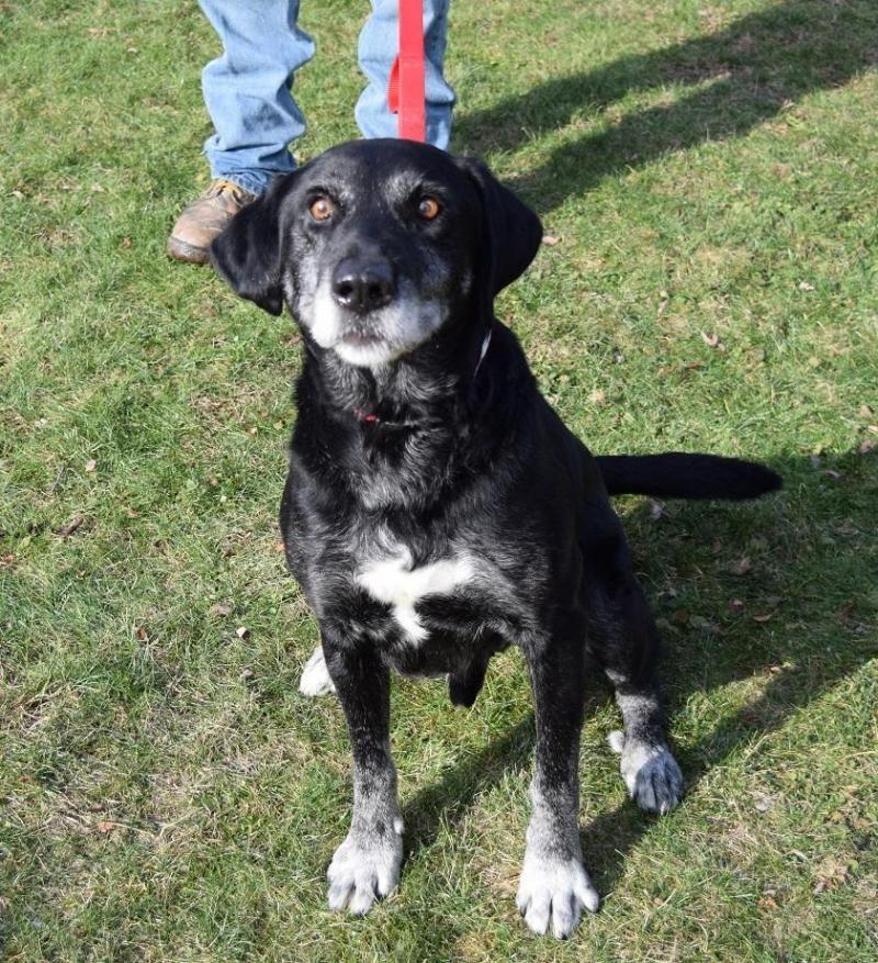 Adopt Rhett SPONSORED! on Pets, Pet adoption, Labrador
