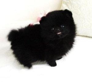 Black Teacup Pomeranian by graciela Cute pomeranian