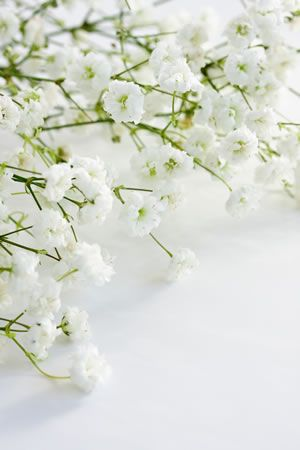 Best Of Flowers Meaning Love And Passion And Description In 2020 Flower Meanings Babys Breath Flowers Babys Breath