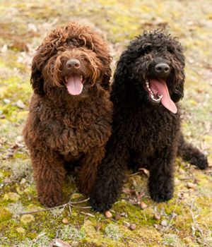 Barbet Price Temperament Life Span Dog Breeds Portugese