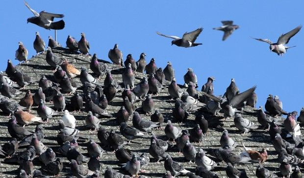 How To Get Rid Of Pigeons On Roof Diy How To Get Rid Of Pigeons Simi Valley Wildlife
