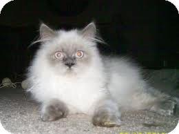 Westfield Ma Himalayan Meet Himalayans A Cat For Adoption Himalayan Kitten Kittens Cat Adoption