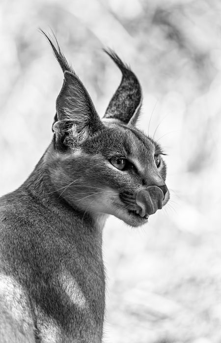 Caracal  Photo by Levana Sietses -- National Geographic Your Shot