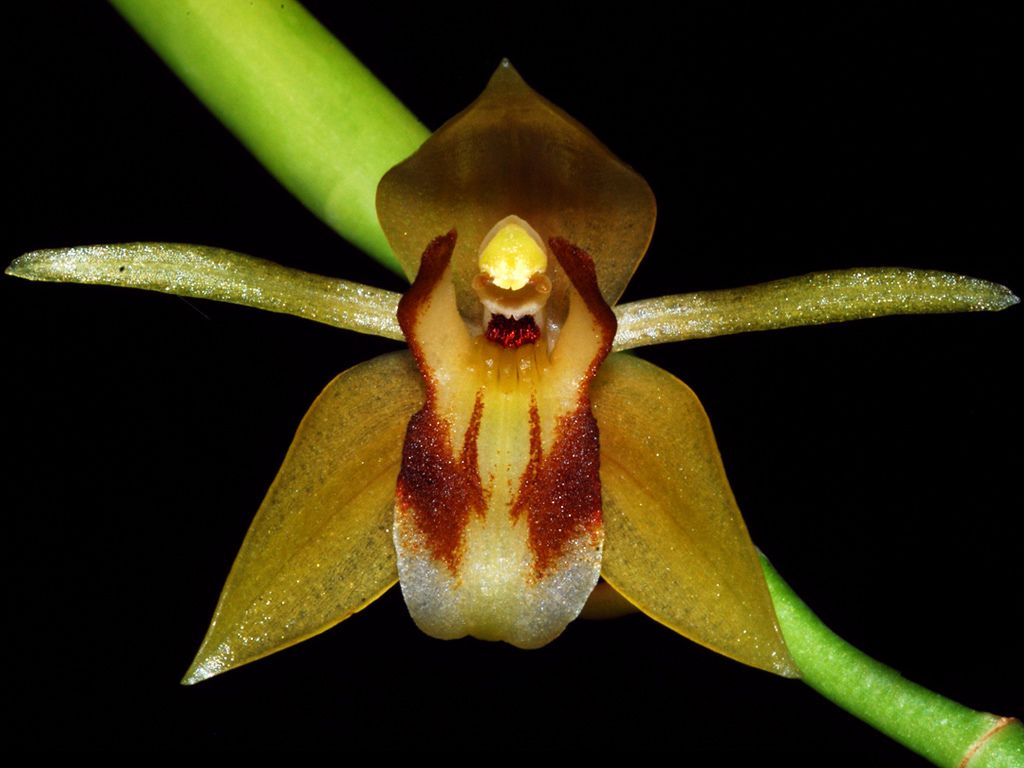 Orchid: Coelogyne rubrolanata' by orchids & more1