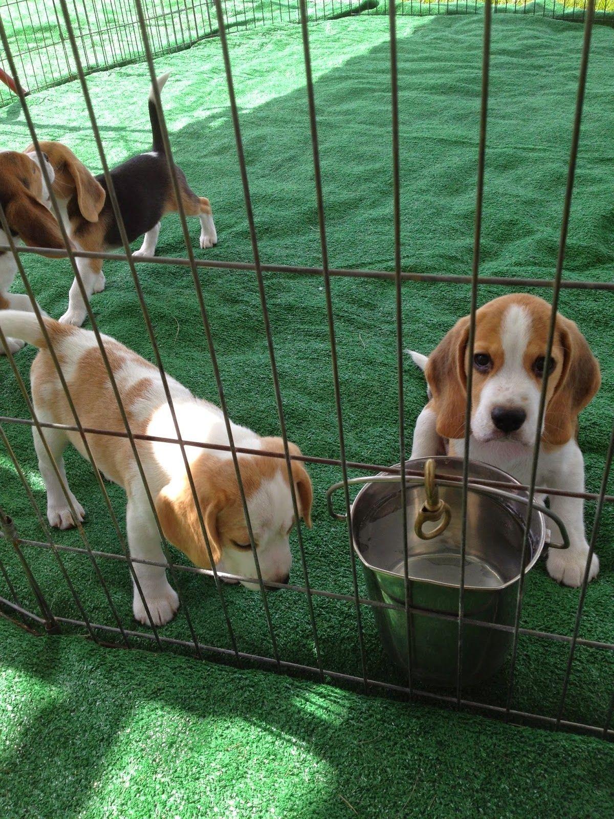 English Bulldog Puppies In Florida Beagle Puppy Beagle Dog Beagle