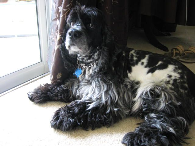Another Pinner S But I Miss My Pepper American Cocker Spaniel Cocker Spaniel Black Cocker Spaniel