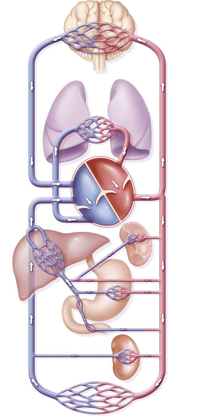 La circulación del corazón a los pulmones | Health | Pinterest ...