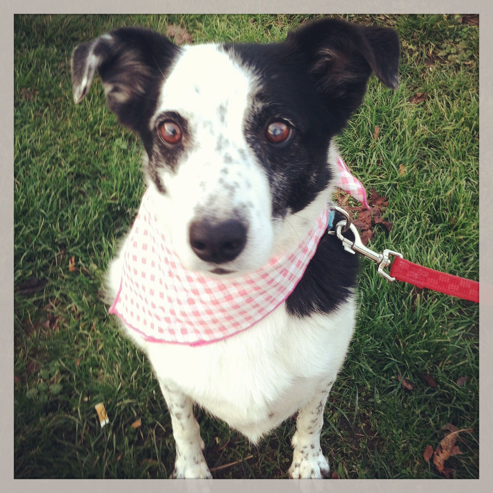Nina 7 year old Border Collie mix available for adoption