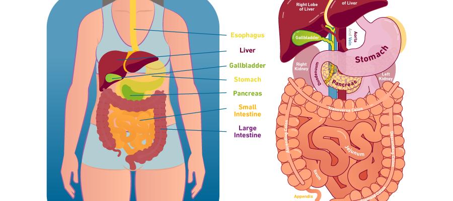 Natural Colon Cleansing Detox Human Digestive System Gastric Juice Digestive Disease