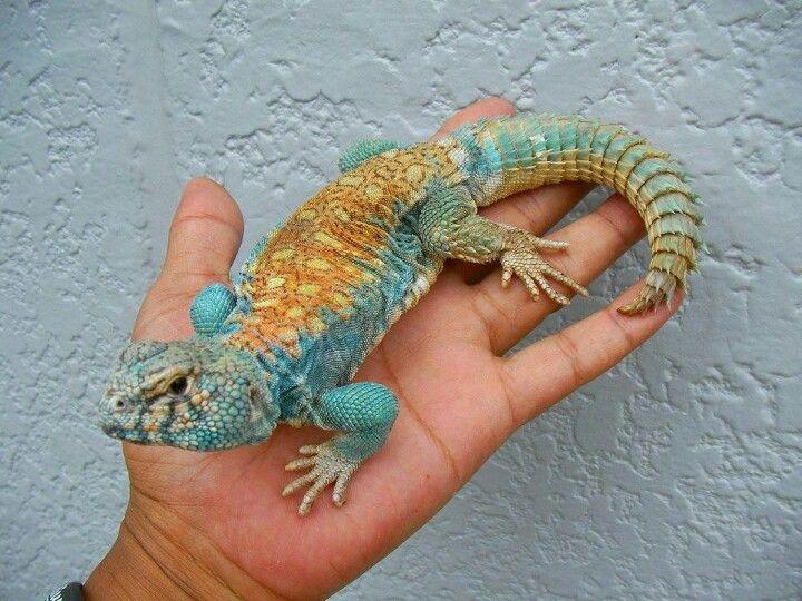 Uromastyx Cute Reptiles Uromastyx Uromastyx Lizard