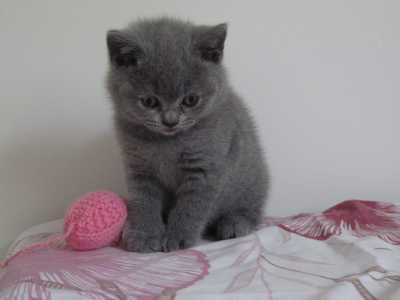 British Shorthair Kittens For Sale New York Mills Mn Pennysaverusa British Shorthair Kittens Kittens Kitten For Sale