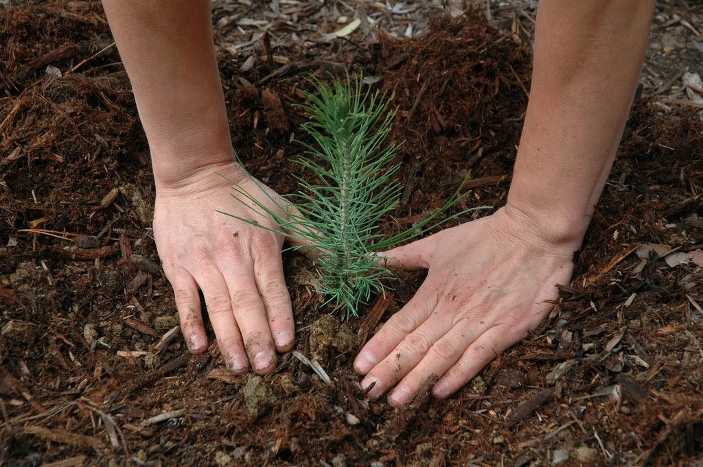 How To Grow A Pine Tree From Seed Trees to plant, Tree