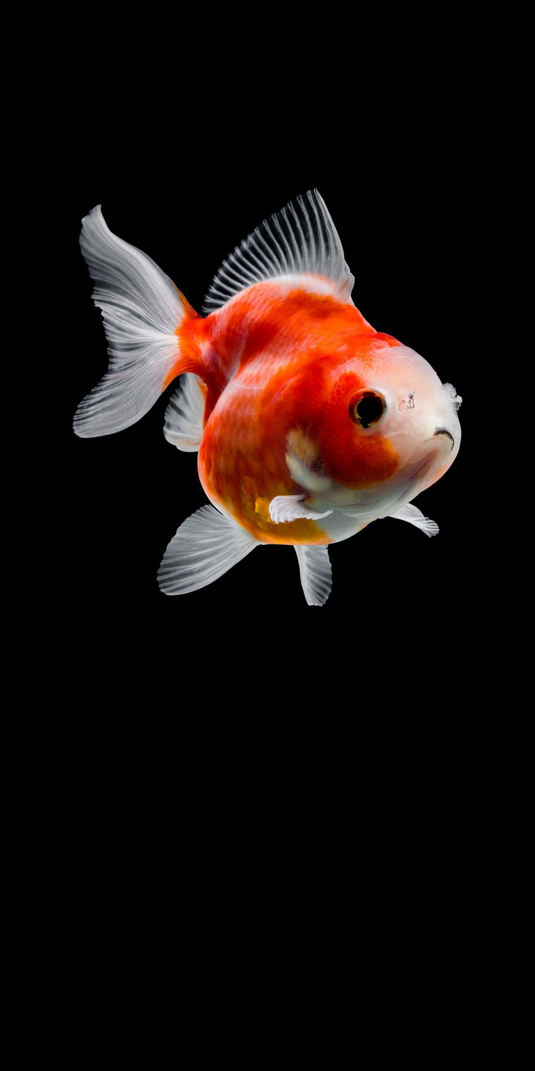 Pin By Iyan Sofyan On Animals Pictures Goldfish Goldfish Wallpaper Cute Fish