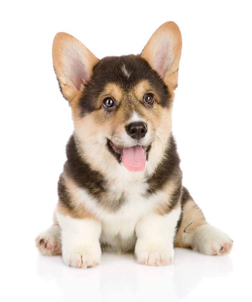 Corgi Puppy Http Www Localpuppybreeders Com Corgi Dog Breed