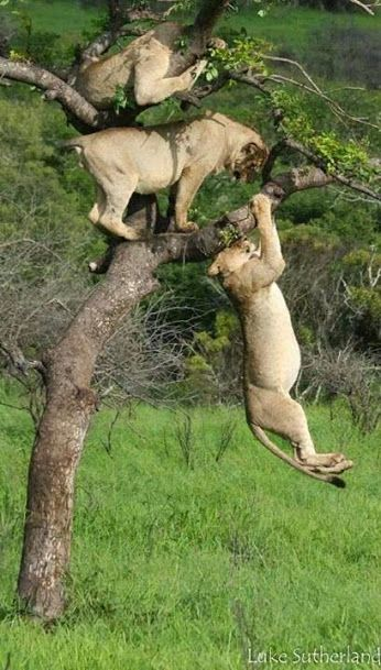 We can't think of a caption good enough for these amazing tree climbing lions – help us out!  (Fantastic pic by Luke Sutherland via Africa, this is why I live here - http://on.fb.me/1hLTXcS)