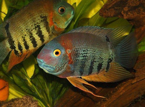 Heros Severum Cichlasoma Cichlids Aquarium Fish Tropical Fish