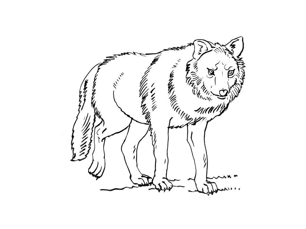 http://coloriage.gulli.fr/Coloriages-Animaux/Loups   Dessins de Loups à colorier   Pinterest ...