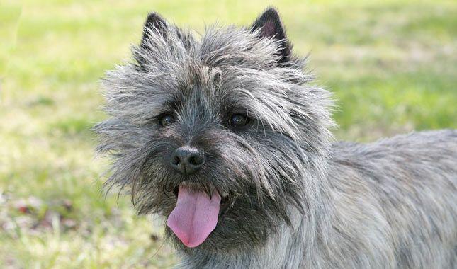 Cairn Terrier Breed Information Terrier Breeds Terrier Cairn