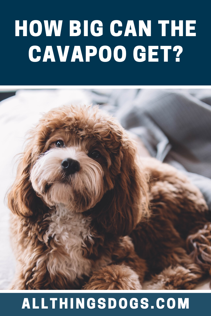 You will find there are two Cavapoo sizes depending on
