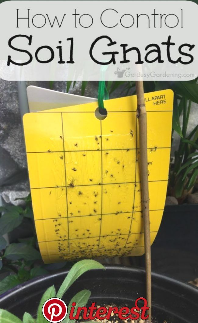 How To Get Rid Of Fungus Gnats In Houseplants Soil Fungus