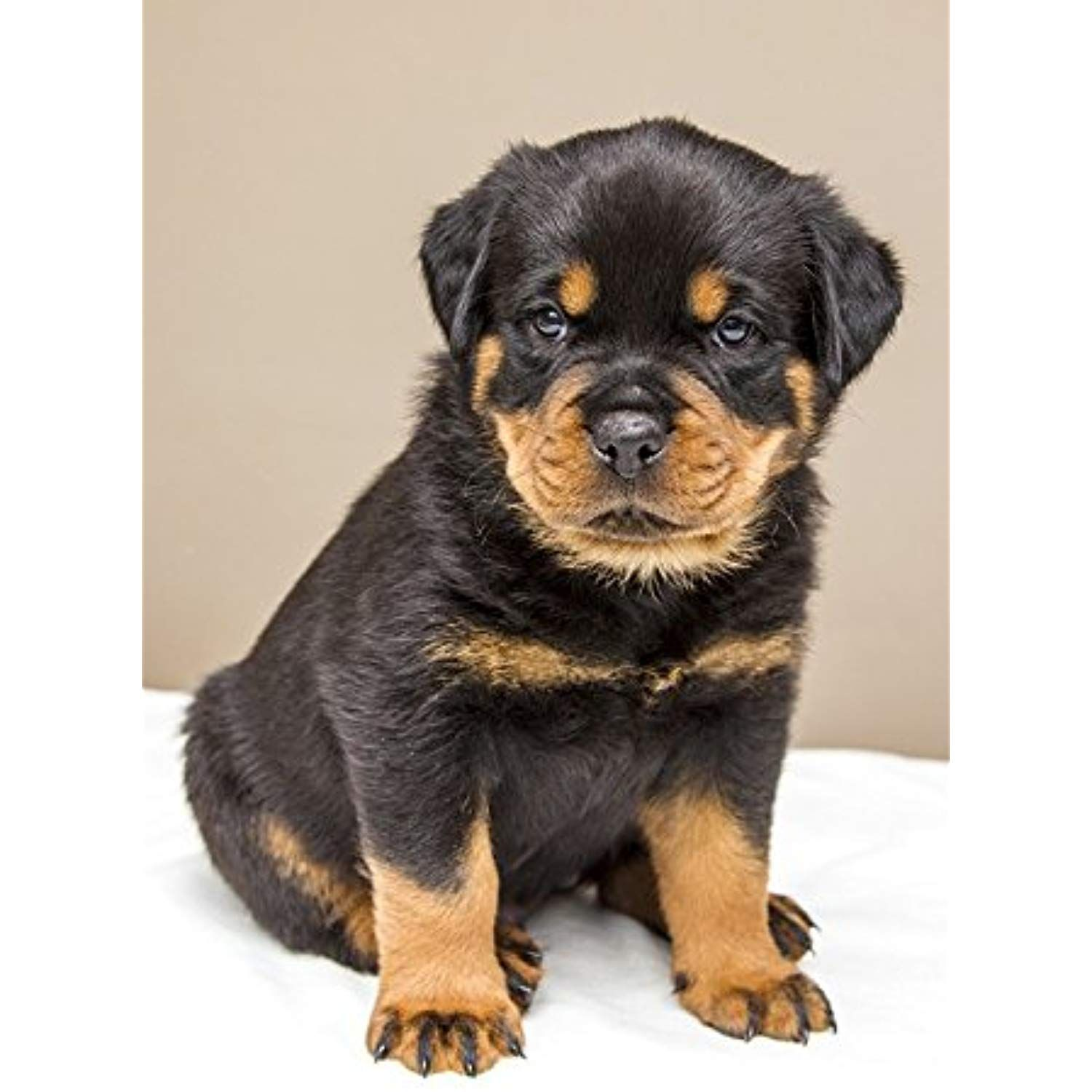 LAMINATED POSTER Dogs Animals Sweet Rottweiler Dog Puppy