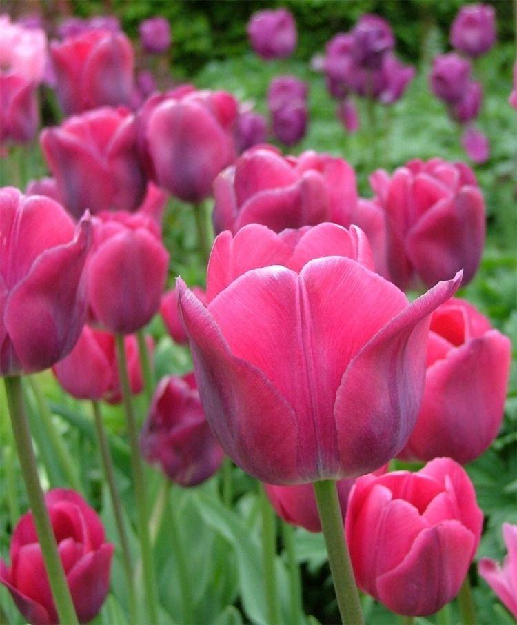 Tulip Topkapi Triumph Tulips Tulips Flower Bulb Index Tulips Flowers Flowers Spring Flowers