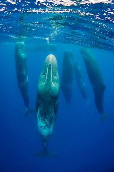 Sleeping sperm whales by Magnus Lundgren.  Whales are voluntary breathers, so only half of their brain can sleep at any time - they have to think to breath!  Scientists found this out the hard way when they tried to put a dolphin to sleep for an operation.  Its whole brain was asleep so it could not think - it's time to take a breath!
