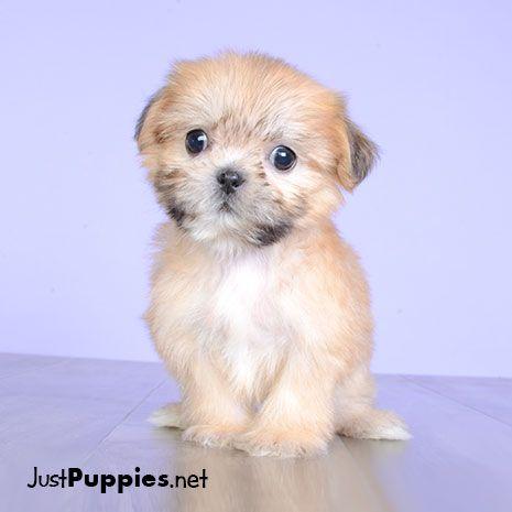 Shih Poo Puppy Ewok Shih Poo Puppies Puppy Dog Pictures Shih Poo