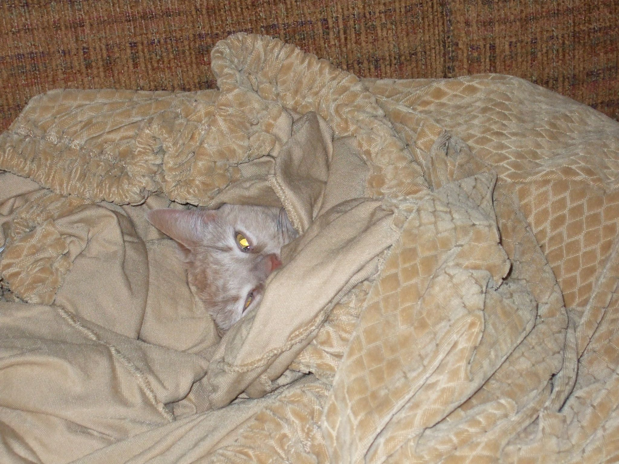 The epitome of cute! (Bob cuddled up in the freshly washed sofa cover.)