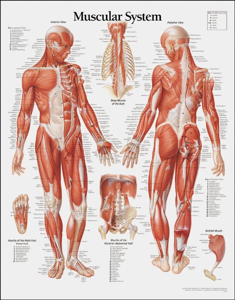 Pin de Luis Moreno en Anatomía Humana. | Pinterest | Anatomía ...