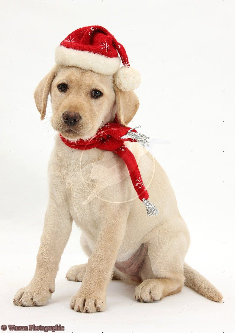 Christmas Yellow Lab Merry Christmas Card Puppy Holiday Dogs Santa ...