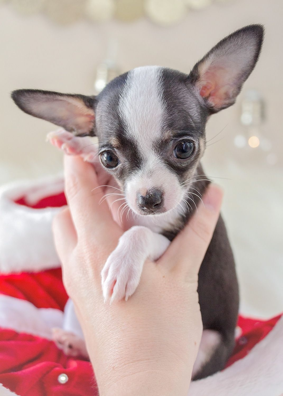 Teacup Chihuahua Puppy 308 For Sale Teacup Puppies Chihuahua