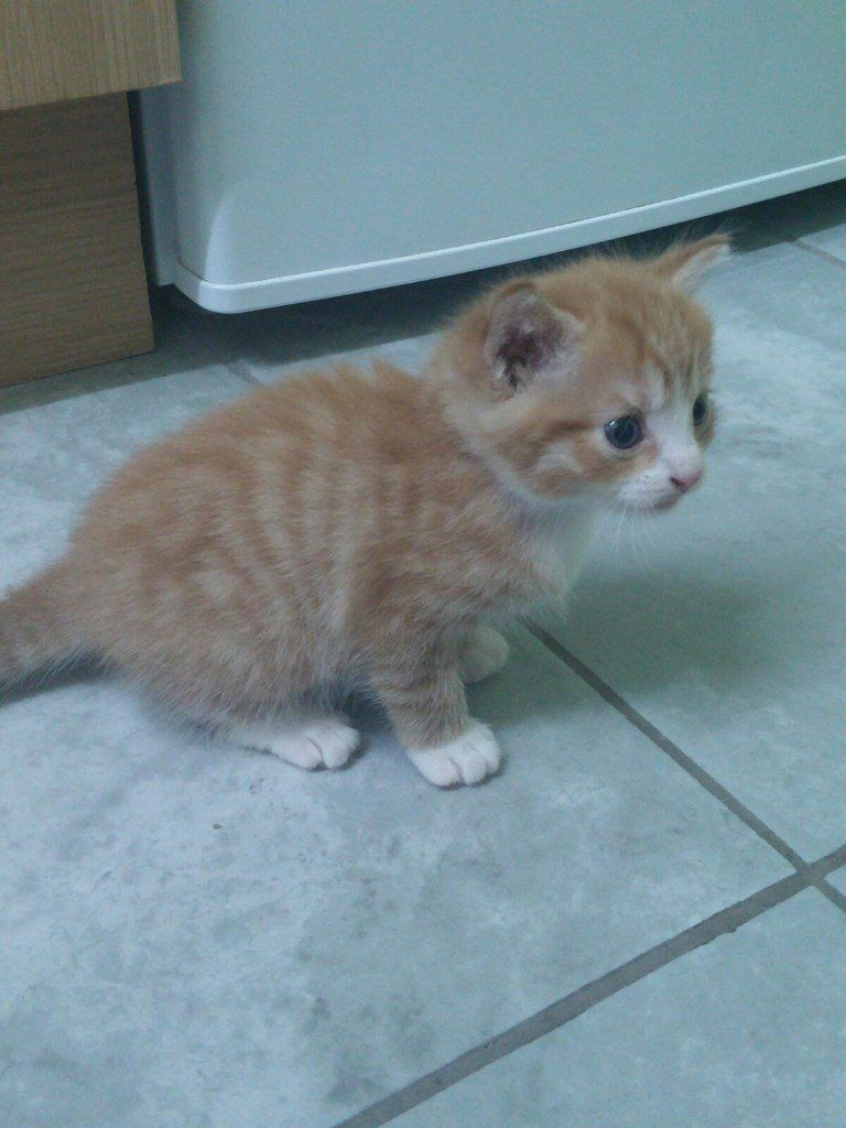 Beautiful Male Ginger Kitten Very Friendly And Playful Already