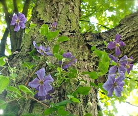 Clematis 'Perle d'Azur' blooming on mature maple tree