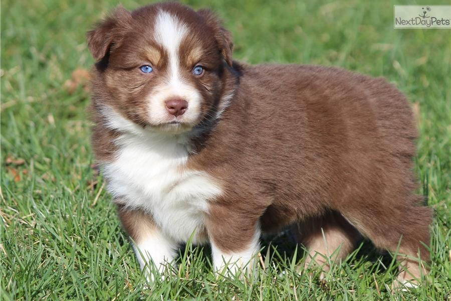 Australian Shepherd Red Tri Bule Male Puppy Akc Asca Blue Eyed