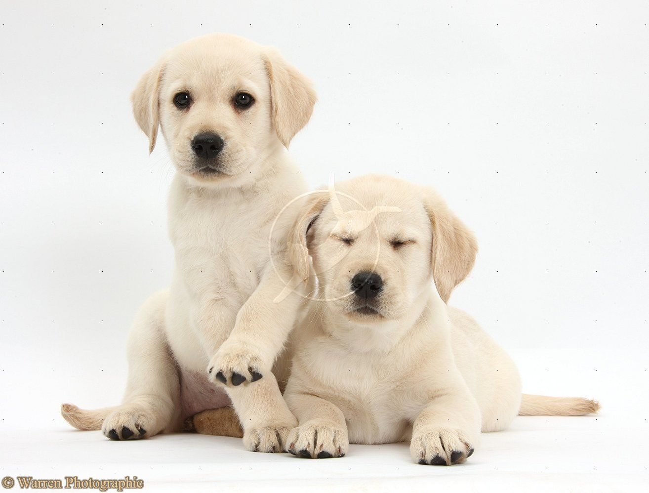 White Lab Dogs Yellow Labrador Retriever Puppies 8 Weeks Old