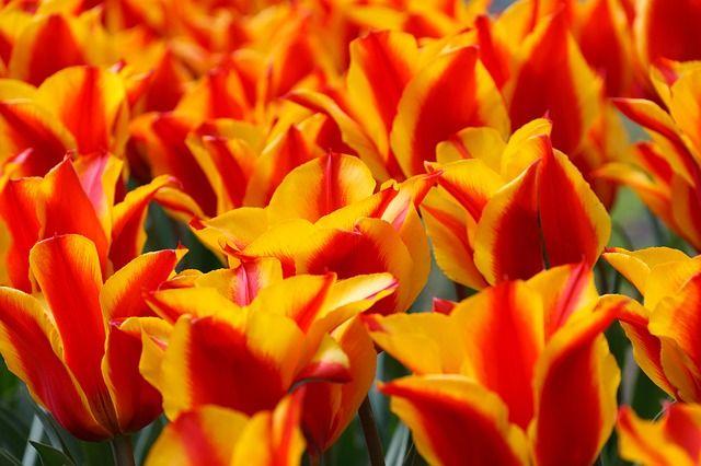 Rot, Gelb, Tulpen,