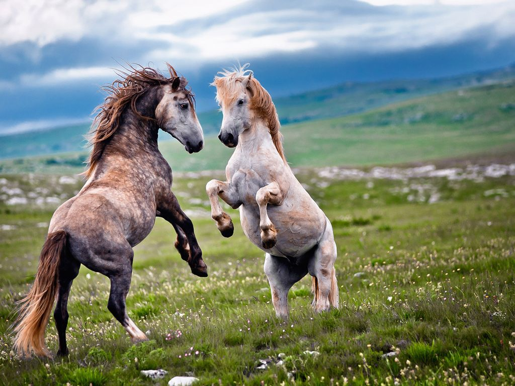 Wild stallions fight for supremacy as spring replenishes the plains below the Cincar mountains, in west Bosnia. The origin of the herd, which spends winter in the high valleys, is unknown