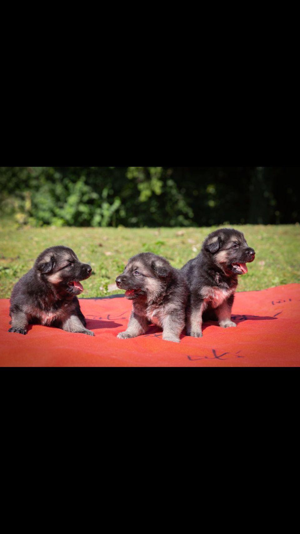 Osteuropaische Schaferhundwelpen Hunde Aus Nurnberg Falkenheim Hunde Welpen Hunde Welpen