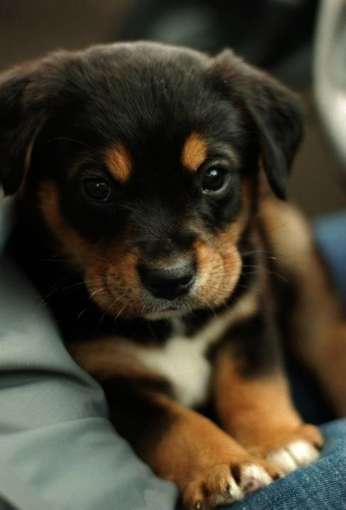 Get This Puppies For Sale Near Me Rescue Cool Cute Animals Puppies Cute Baby Animals